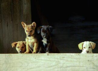 Karma ROYAL CANIN Indoor Life Adult Small Dog