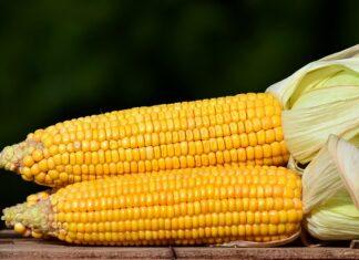 ile gotować kukurydzę